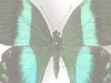 Игра Пазлы: Butterflies