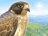 Young Friendly Falcon